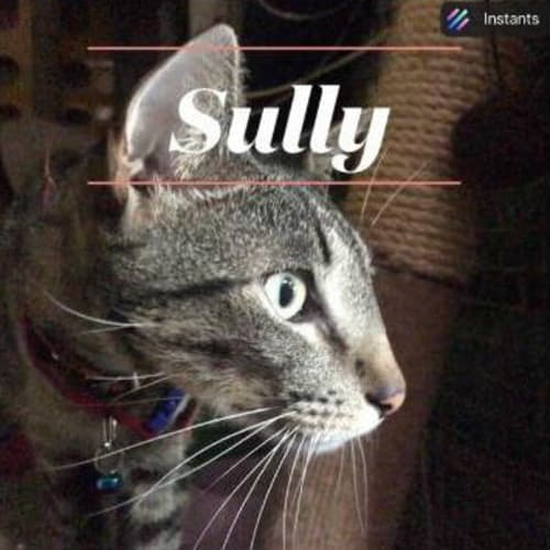 Sully - Domestic Short Hair Cat