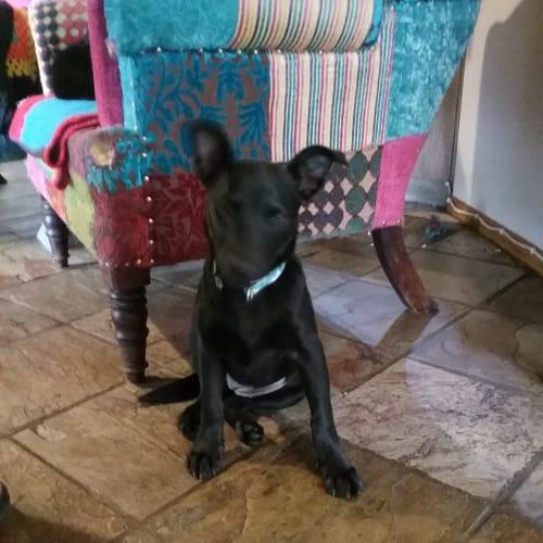Poppy - Kelpie Dog