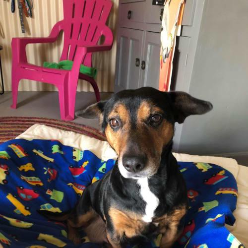 Nesia  - Jack Russell Terrier Dog