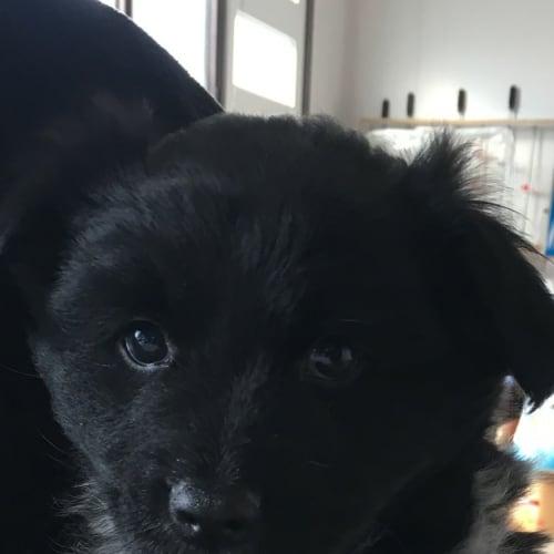 Matty - Border Collie Dog