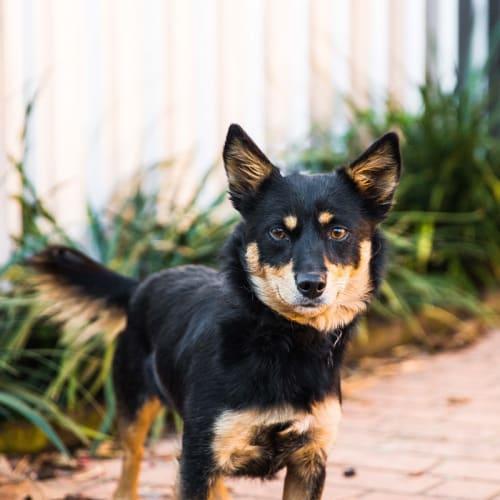 Lulu - Chihuahua x Kelpie Dog