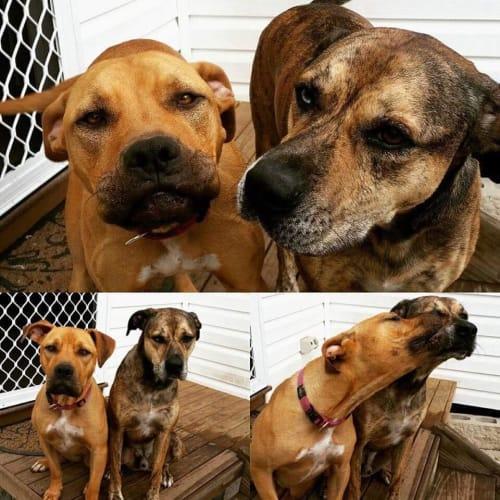 Koda & Xanthe - Catahoula Dog