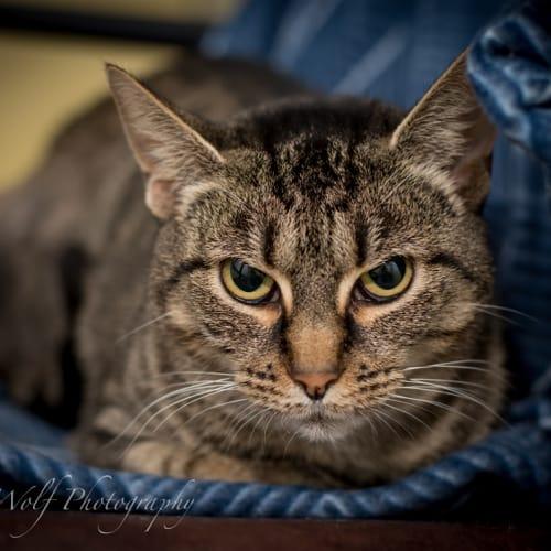 Nicole - Domestic Short Hair Cat
