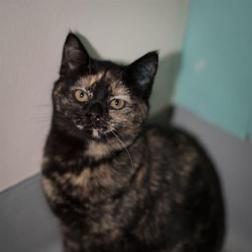 Ali - Domestic Short Hair Cat