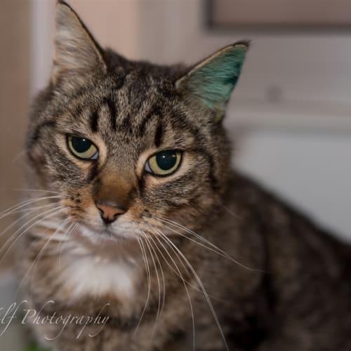 Howard - Domestic Short Hair Cat