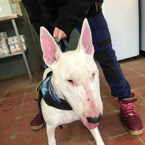 Leo - foster carer needed - Bull Terrier Dog
