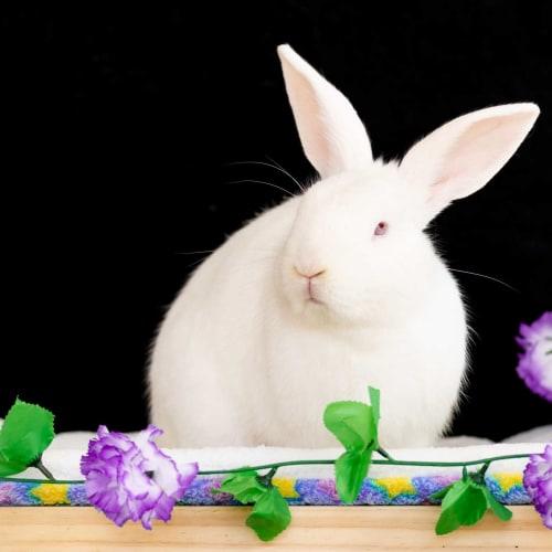 Freddy - Domestic Rabbit