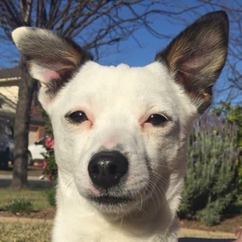 Monty 💚 *adopt me* - Chihuahua x Miniature Fox Terrier Dog