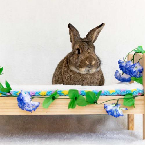Georgie - Domestic Rabbit