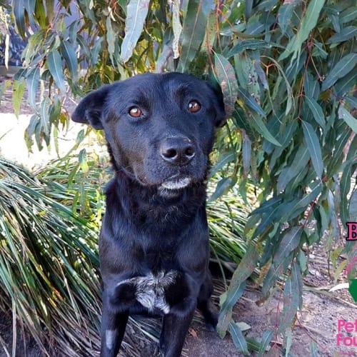 Bruce - Australian Cattle Dog x Kelpie Dog