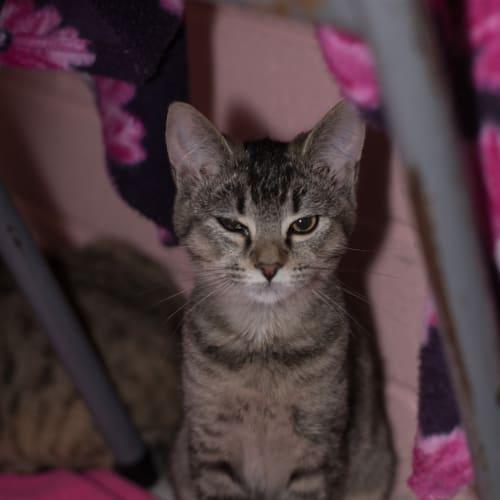 Melanie - Domestic Short Hair Cat