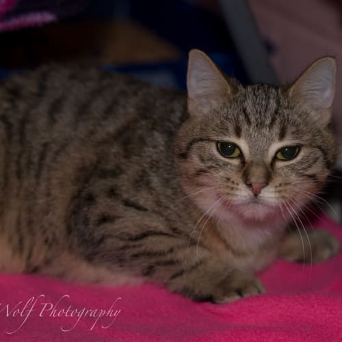 Spinach - Domestic Short Hair Cat