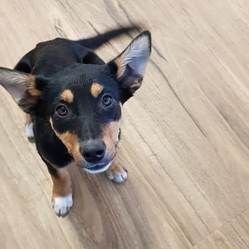Lexus - Kelpie Dog