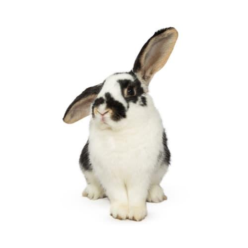 Bun Jovi - Lop Eared Rabbit