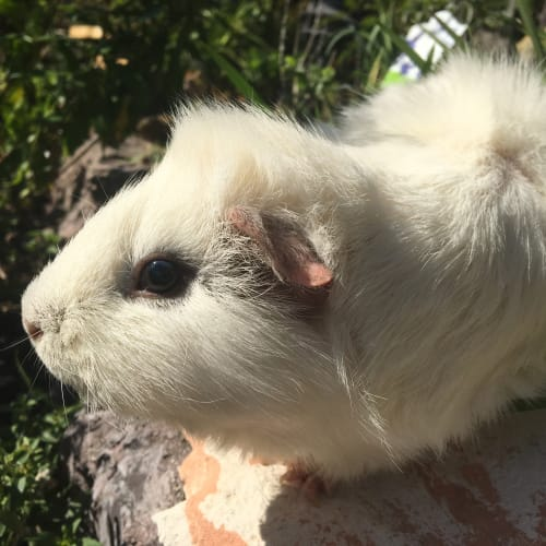 George - Abyssinian Guinea Pig