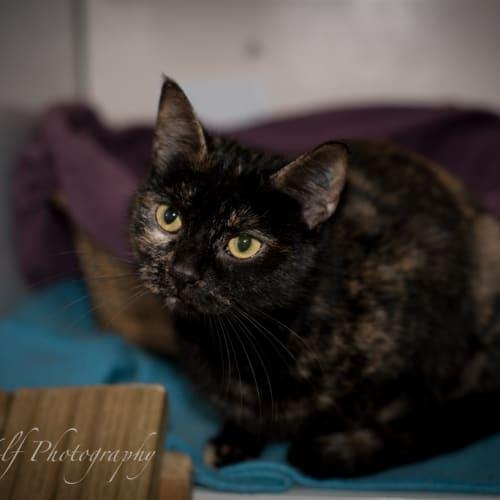 Samantha - Domestic Short Hair Cat