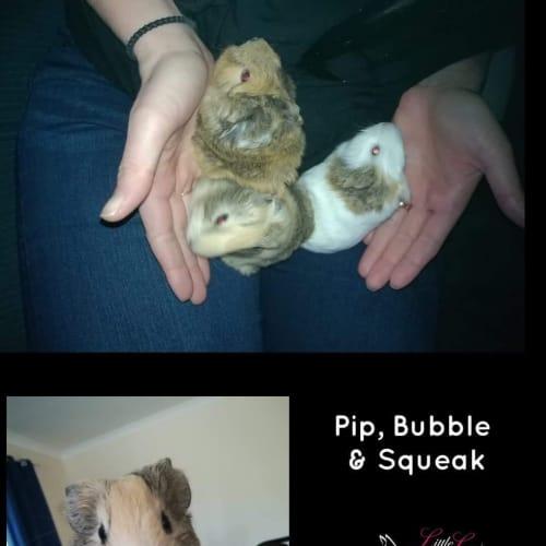Pip, Bubble & Squeak - Guinea Pig