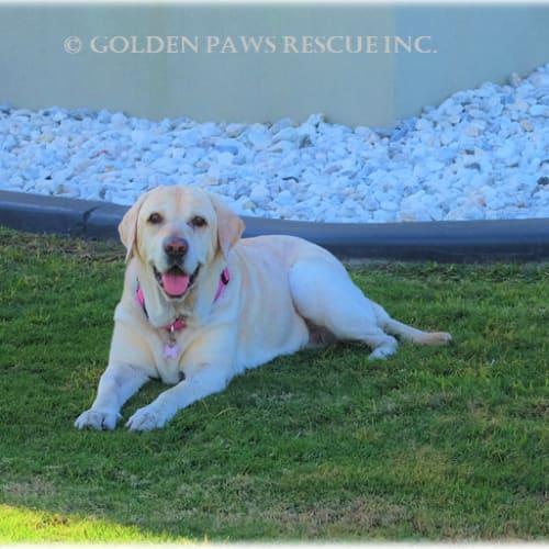 Cassie ! - Labrador Dog
