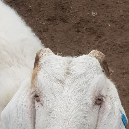 Snitzel -  Farm Animal