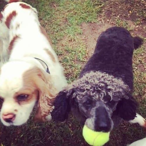 Hugo & Lou Lou - Cavalier King Charles Spaniel x Poodle Dog