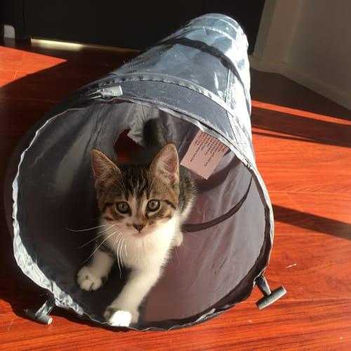 Nova - Domestic Short Hair Cat
