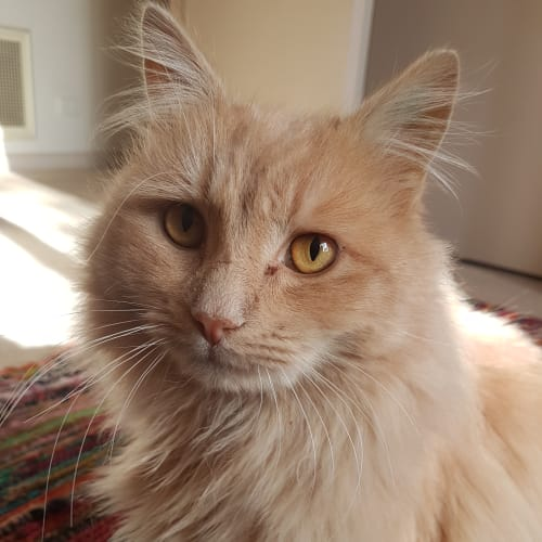 Arnotts (Biscuits for short !) - Domestic Medium Hair Cat