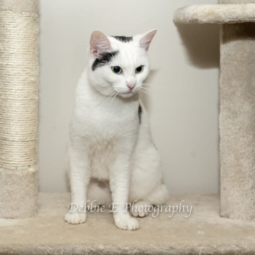 Willow SC0544 - Domestic Short Hair Cat