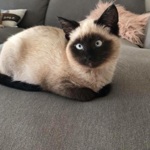 Yoda - Ragdoll x Siamese Cat