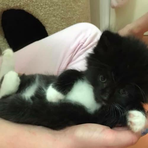 Casper  - Ragdoll x Domestic Medium Hair Cat