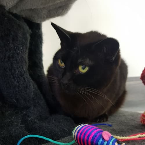 Lidia - Meet me at Neko HQ in Preston - Burmese Cat