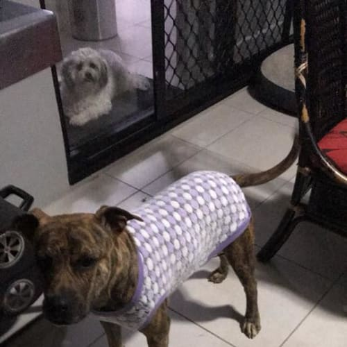 Coco - Staffordshire Bull Terrier Dog