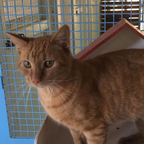 Red - Domestic Short Hair Cat