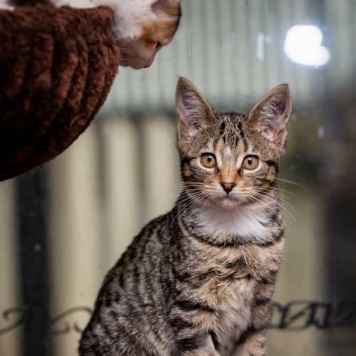 Chloe SK2577 - Domestic Short Hair Cat