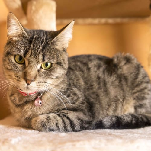 Kasey SC0531 - Domestic Short Hair Cat