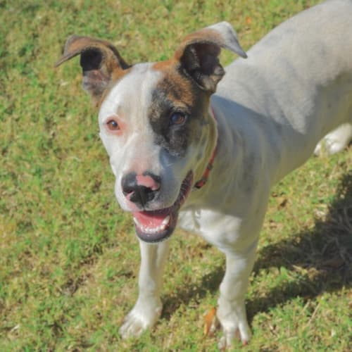 Lacey D3923 - Mixed Breed Dog
