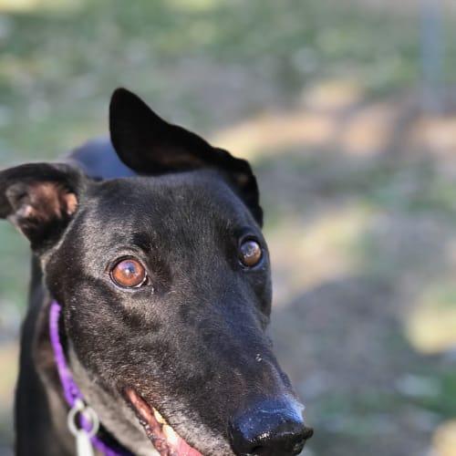 Scruffy - Greyhound Dog