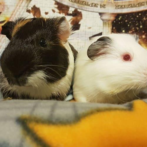 Alby and Simon -  Guinea Pig