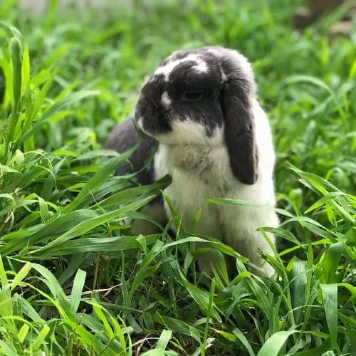 Marl - Lop Eared Rabbit