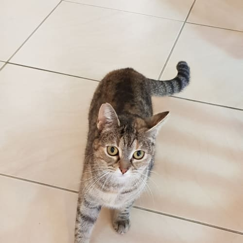 Betty - Domestic Short Hair Cat