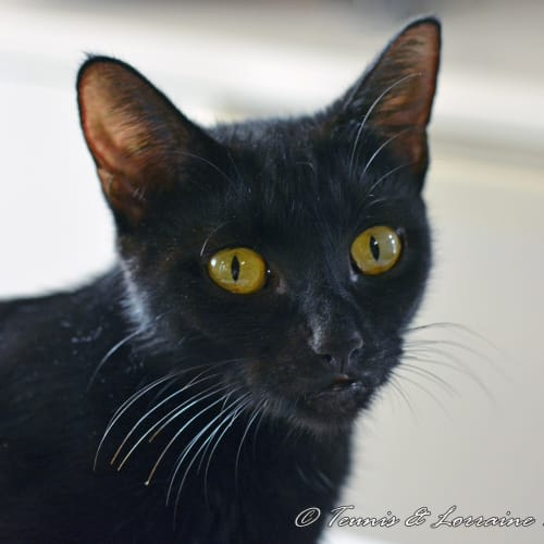 Clarissa - Domestic Short Hair Cat