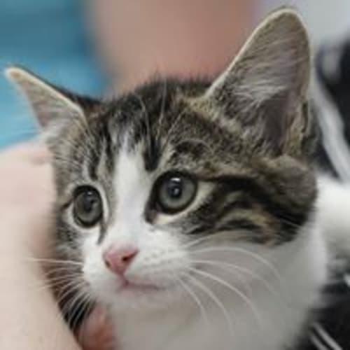 Paddy - Domestic Short Hair Cat