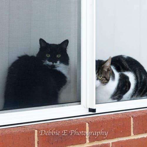 AC0235/AC0478 – Arrow & Maggie - Domestic Short Hair Cat