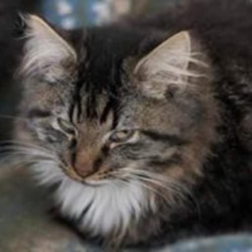 Cloud - Domestic Long Hair Cat