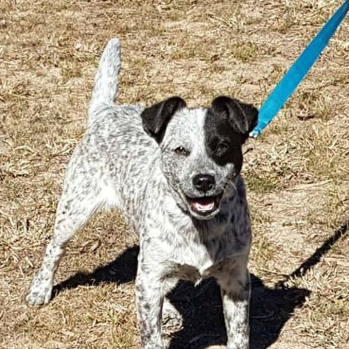 Buzby - Australian Cattle Dog