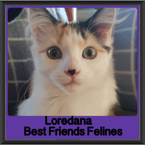 Loredana  - Domestic Long Hair Cat