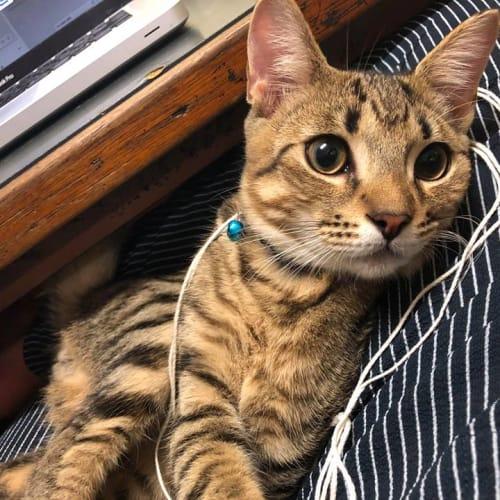 Kidd - Domestic Short Hair Cat