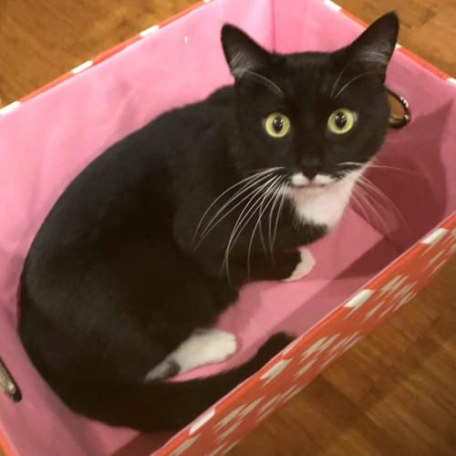 Olivier - Located in Carlton - Domestic Short Hair Cat