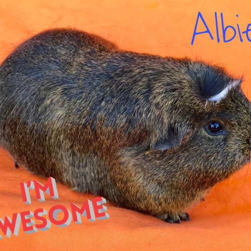 Albie - Crested Guinea Pig