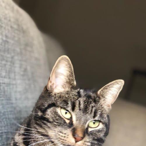 Tiah (Located in Williams Landing) - Domestic Short Hair Cat