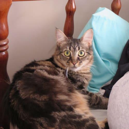Della - Domestic Medium Hair Cat